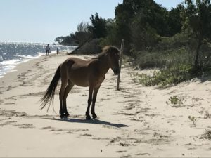 Banker horse on Shackleford Banks